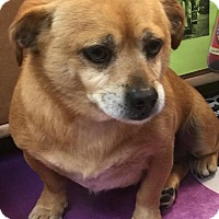 Pug Mix Dog for adoption in Lakewood, California - LAKER