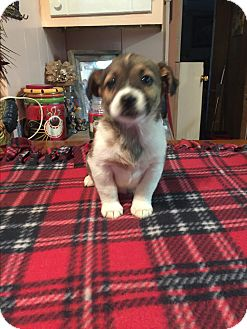 Jack Russell Terrier/Beagle Mix Puppy for adoption in Glastonbury, Connecticut - Bruno