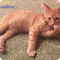 Domestic Shorthair Kitten for adoption in West Des Moines, Iowa - Hamilton