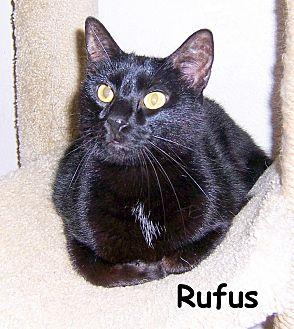 Domestic Shorthair Cat for adoption in Oklahoma City, Oklahoma - Rufus