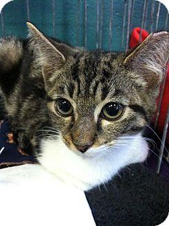 Domestic Shorthair Kitten for adoption in Seminole, Florida - Shellie