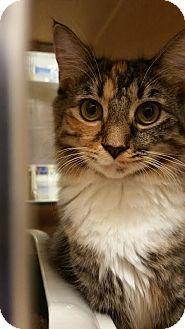 Domestic Shorthair Kitten for adoption in Burlington, North Carolina - Carra