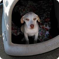Adopt A Pet :: Heidi - New Haven, CT