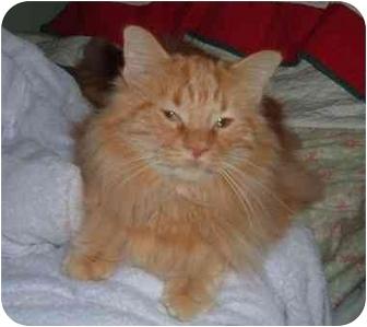 Domestic Longhair Cat for adoption in Troy, Ohio - Berkley