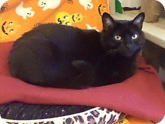 Domestic Shorthair Cat for adoption in Pekin, Illinois - Henrietta