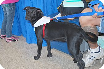 Labrador Retriever Mix Puppy for adoption in Minneola, Florida - Chip