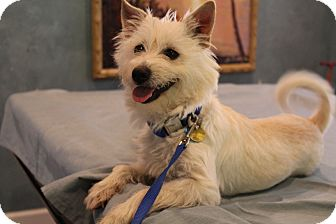 Westie, West Highland White Terrier/Pomeranian Mix Puppy for adoption in Bedminster, New Jersey - Charlotte