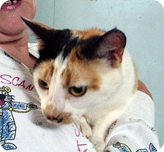 Domestic Shorthair Cat for adoption in Germantown, Maryland - Freckles P