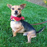 Miniature Pinscher/Chihuahua Mix Dog for adoption in Los Angeles, California - Cute Joey-VIDEO