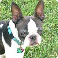Adopt A Pet :: JuJu Bee - Elkhart, IN