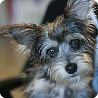 Adopt A Pet :: McDuff - Canoga Park, CA