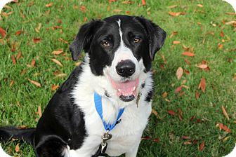 Border Collie/Labrador Retriever Mix Dog for adoption in Richmond, Virginia - Angus