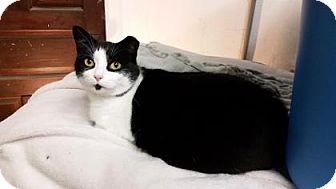 Domestic Shorthair Cat for adoption in Cheltenham, Pennsylvania - PANDA!