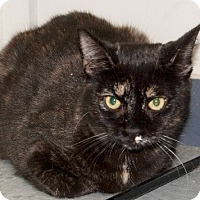 Domestic Shorthair Cat for adoption in Martinsville, Indiana - Spice