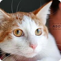 Domestic Shorthair Cat for adoption in Edwardsville, Illinois - Ursala