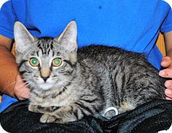 Domestic Mediumhair Kitten for adoption in Parsons, Kansas - Dana