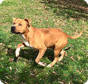 Boxer/Pit Bull Terrier Mix Dog for adoption in Stamford, Connecticut - A - CAPTAIN