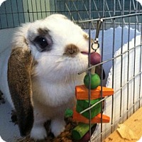 Lop-Eared Mix for adoption in Conshohocken, Pennsylvania - Maizie