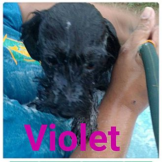 Terrier (Unknown Type, Medium) Mix Puppy for adoption in fort wayne, Indiana - Violet