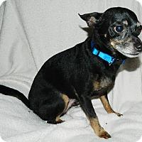 Adopt A Pet :: Shizz - Umatilla, FL