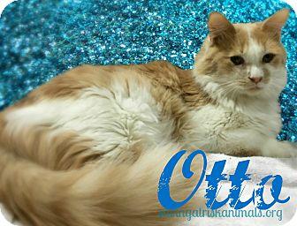Domestic Mediumhair Cat for adoption in Tucson, Arizona - Otto