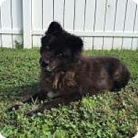 Adopt A Pet :: Grizzly - New Smyrna Beach, FL