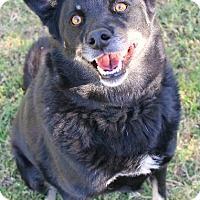 Adopt A Pet :: Harper - Tucson, AZ
