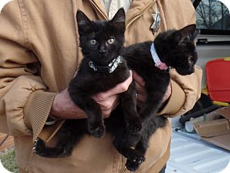 Domestic Mediumhair Kitten for adoption in Cut Bank, Montana - Simba