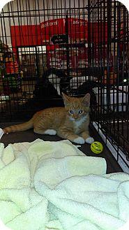 Domestic Shorthair Kitten for adoption in Lancaster, California - PM