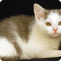 Domestic Shorthair Kitten for adoption in Newland, North Carolina - Dove