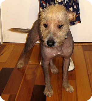 "Chinese Crested Dog for adoption in Pulaski, Tennessee - ""Willow"""