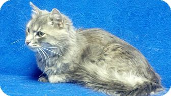 Domestic Longhair Cat for adoption in East Hanover, New Jersey - Ashton - Arriving April 7th