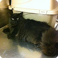 Adopt A Pet :: Santana - Pittstown, NJ