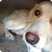 Labrador Retriever/Golden Retriever Mix Dog for adoption in Quinlan, Texas - Harley