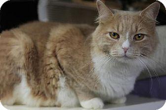 Domestic Mediumhair Cat for adoption in Bronx, New York - Columbus