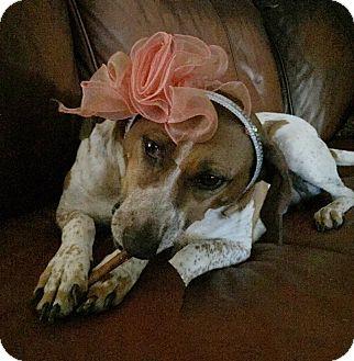 English (Redtick) Coonhound/Foxhound Mix Dog for adoption in Washington, Pennsylvania - Willow Briar