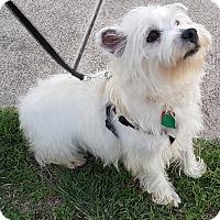 Adopt A Pet :: Linus-ADOPTED - Carrollton, TX