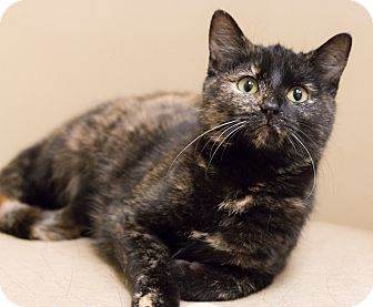 Domestic Shorthair Cat for adoption in Chicago, Illinois - Raisinette