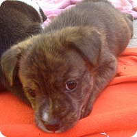 Adopt A Pet :: Sawyer (ARSG) - Santa Ana, CA