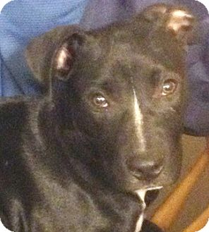 Staffordshire Bull Terrier Mix Puppy for adoption in Cincinnati, Ohio - Duke