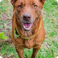 Shepherd (Unknown Type) Mix Dog for adoption in Houston, Texas - Rhonda