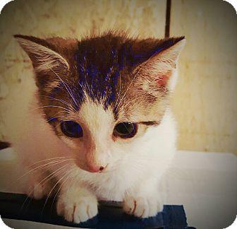 Domestic Mediumhair Kitten for adoption in DFW, Texas - Ray