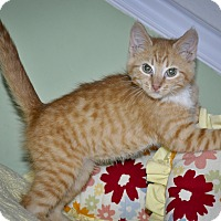 Adopt A Pet :: CHEETO (Huggable and lovable) - New Smyrna Beach, FL