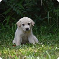 Adopt A Pet :: Carina - Groton, MA