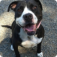 Staffordshire Bull Terrier/Bulldog Mix Dog for adoption in Auburn, Washington - Boston