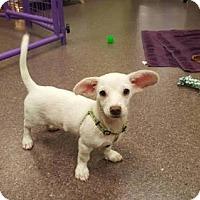 Adopt A Pet :: Peeta - Phoenix, AZ