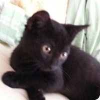 Domestic Shorthair Kitten for adoption in Columbus, Ohio - Charlie