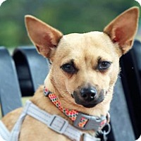 Chihuahua Mix Dog for adoption in Alpharetta, Georgia - Nyla