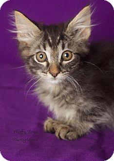Domestic Longhair Cat for adoption in Gilbert, Arizona - Bling