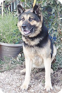 German Shepherd Dog/Husky Mix Dog for adoption in San Diego, California - Captain